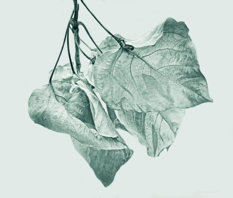 withering leaf1