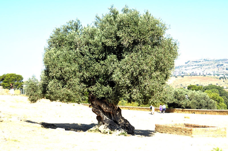 This is a picture of an olive tree